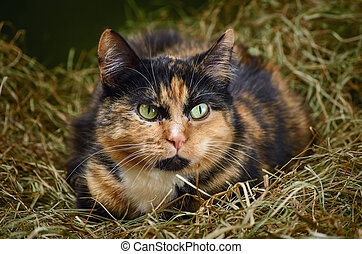 Cat in the Hay - Outbred Cat in the Hay
