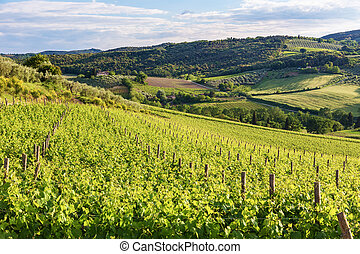 Typical Tuscan landscape with vineyards in Tuscany - Typical...