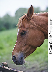 Brown Horse - A Brown Horse Looking Over a fence,...