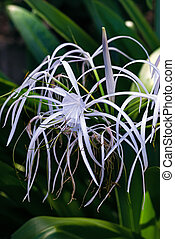 Spider lily white tropical flower - Spider lily white...