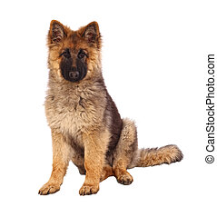 german shepard puppy dog portrait on white background