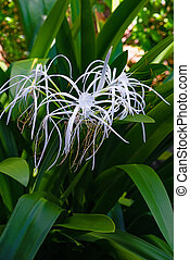 Spider lily white tropical flower in Tobago Caribbean...