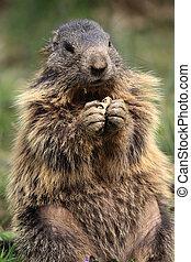 Marmot - The Alpine Marmot (Marmota marmota