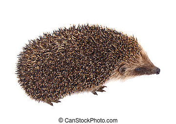 European Hedgehog isolated on white background
