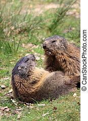 Marmot - The Alpine Marmot Marmota marmota