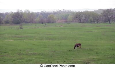 Cow Grazing in the Field - Beautiful gray and white cows...