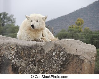 White wolf laying on a stone