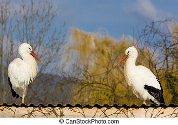 storks breeding (Centre de Reintroduction des Cigognes),...
