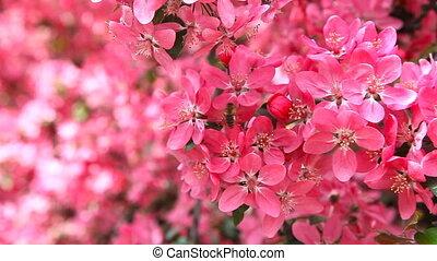 Paradise apple tree - Red flowers of paradise apple tree
