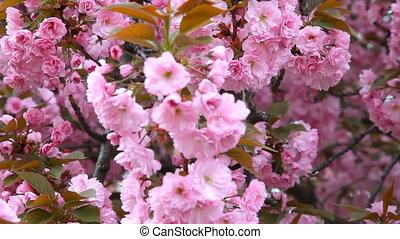 Sakura. Beautiful Pink Flowers - Sakura. Cherry Blossom in...