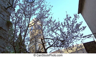 Blooming apple tree in Cannes - Blooming apple tree on the...
