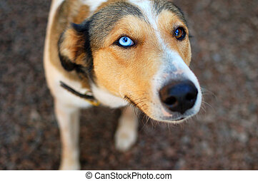 Beautiful dog with blue and brown eyes - A Beautiful dog...
