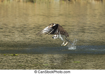 Osprey catches fish from water. - An osprey swoops to catch...