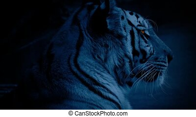 Tiger At Night With Glowing Eyes - Large Bengal tiger in the...