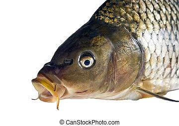 carp Big fish