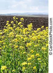 yellow blooms of canola and arable field in spring