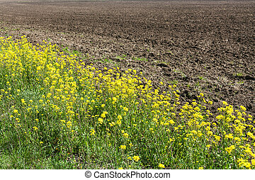 arable land and yellow blooms of rapeseed in spring