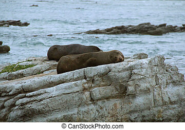 Fur seal resting on rocks, Kaikoura, New Zealand, late evening