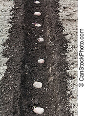 row of seed potatoes in furrow - planting vegetables in...