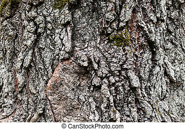cracked bark of old poplar tree - natural background -...