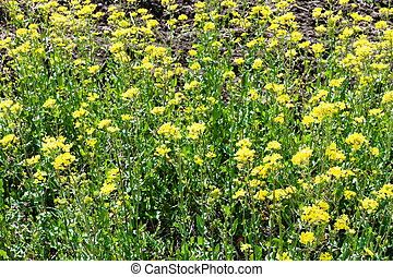 yellow flowers of rapeseed plant in spring