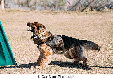 German Shepherd Dog training Biting dog - Furious German...