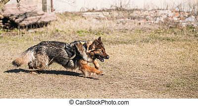 German Shepherd Dog training Biting dog - Furious German...