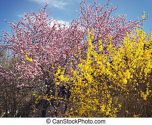 Spring landscape, pink cherry tree and yellow forsythia -...