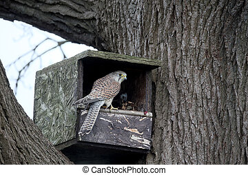 Kestrel, Falco tinnunculus, single female on nest box,...