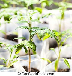 green shoots of tomato plant in plastic tubes in glasshouse