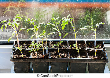 container with tomato plant seedlings on sill - container...