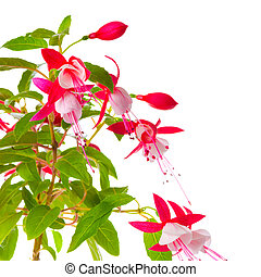 beautiful blooming branch of red and white fuchsia flower is...