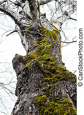 trunk of old poplar tree covered by green moss - bare trunk...