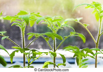 sprouts of tomato plant on window sill - young sprouts of...