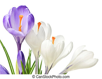 Spring crocus flowers - White and purple spring crocus...