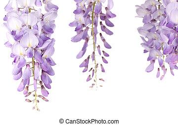 wisteria flowers