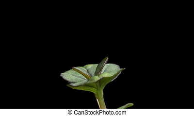 Mint Seedling Time-Lapse - Time-lapse of mint (Mentha sp.)...