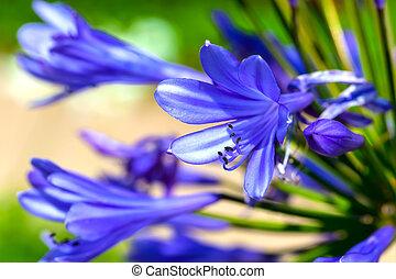 Agapanthus, flor,