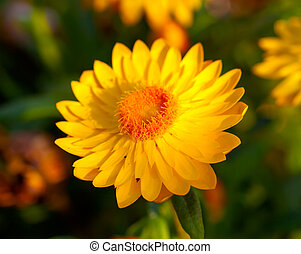 Xerochrysum bracteatum, commonly known as the golden...