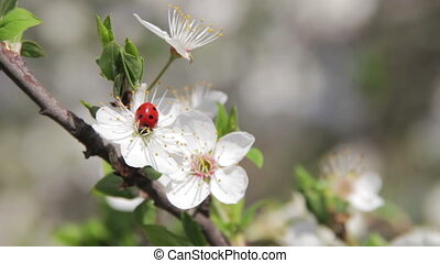 Apricot Flower Blooming and Ladybird in Spring - Apricot...