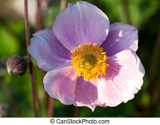 Anemone, family Ranunculaceae, native to temperate zones