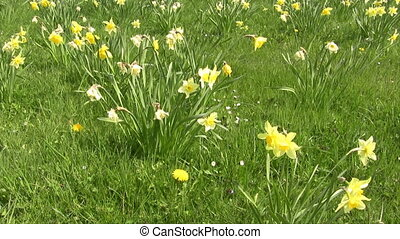 Daffodil - Field of blooming Narcissus (Carlton) flowers