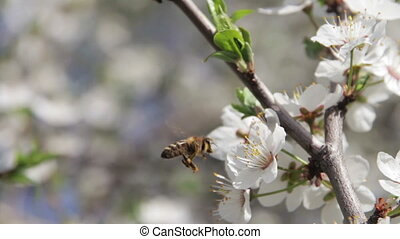 Apricot Flower Blooming and Bee in Spring - Apricot Flower...