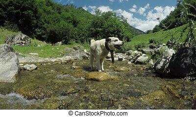 Dog on Mountain stream