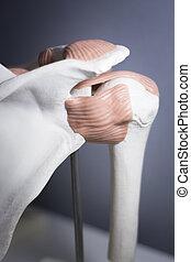 Shoulder joint meniscus model - Shoulder joint plastic...