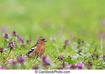 primavera, luminoso, flores,  Finch