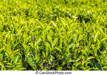 green tea leaf green fields