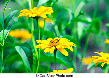 Heliopsis helianthoides, sunflower-like composite...