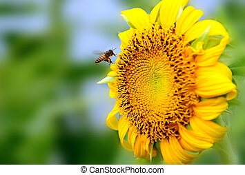 Bee and sunflower - Busy bee picking up pollens from a...