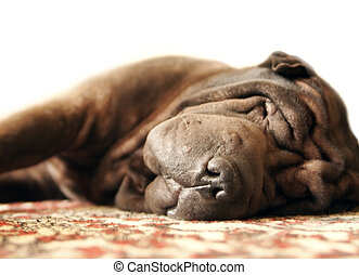 Sleeping Shar Pei - Pretty brown adult shar-pei sleeps on...